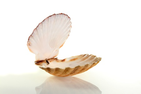 Open scallop shell with soft shadow and reflection against a white background