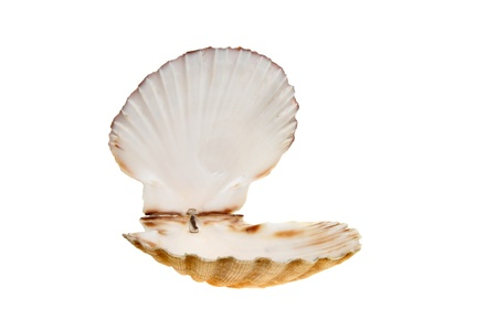 scallop shell: Open empty scallop shell isolated against white