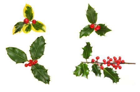 sprigs: Selection of sprigs holly with red ripe berries isolated against white