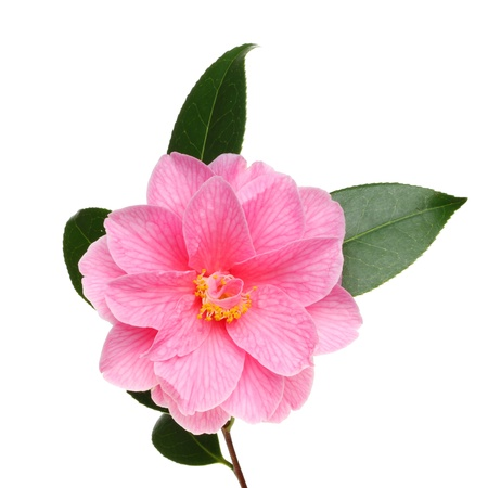 Camellia Williamsii Donation flower and leaves isolated against white