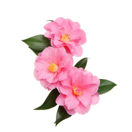 Three Williamsii donation camellia flowers isolated against white Stock Photo
