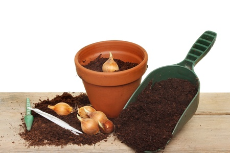 Plant bulbs compost and tools on a wooden potting bench photo