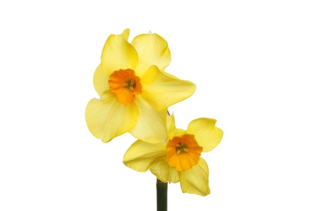 double headed: Double headed narcissus flower, dwarf daffodil, Tete a Tete , isolated against white