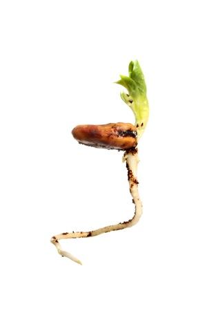 Frijol germinando la semilla mostrando hojas frescas de j�venes y una ra�z pivotante aislados contra blancos Foto de archivo - 12808202