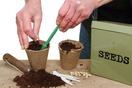 Hands planting pea seeds into pots on a potting bench Stock Photo