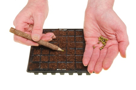 Closeup of hands planting seeds into cells of a seed tray isolated against white