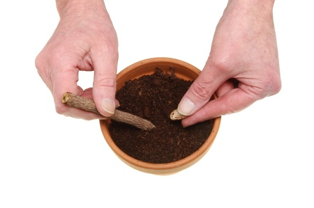 Hands planting a climbing bean seed into compost in a terracotta plant pot isolated against white photo