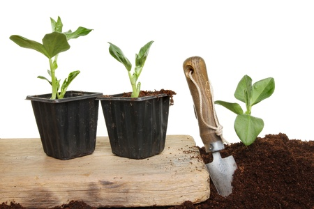 Planting out broad bean vegetable seedlings, plants on a wooden board and in the soil with a garden trowel Stock Photo