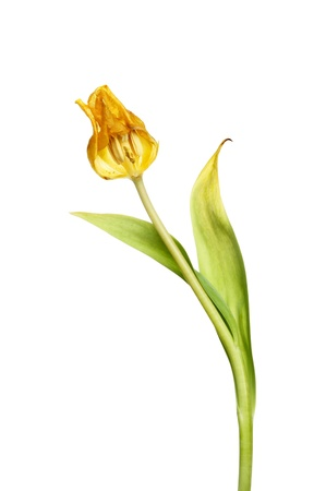 spent: Spent tulip flower and foliage isolated against white
