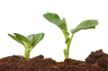 Two broad bean seedlings viewed closeup from soil level against a white background Stock Photo
