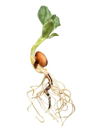 Nahaufnahme eines neu gekeimt breiten Bohnensamen zeigt Root-Struktur Stiel und Entwicklung Bl�tter gegen wei�e isoliert Lizenzfreie Bilder