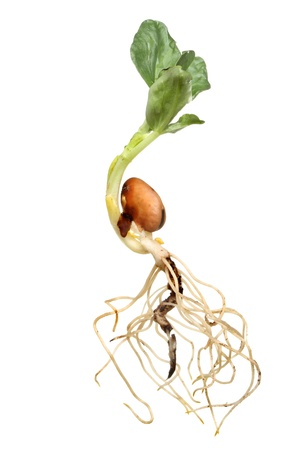 germinaci�n: Primer plano de una semilla de frijol reci�n germinadas amplia muestra del tallo ra�z de la estructura y el desarrollo de hojas aislados contra blancos