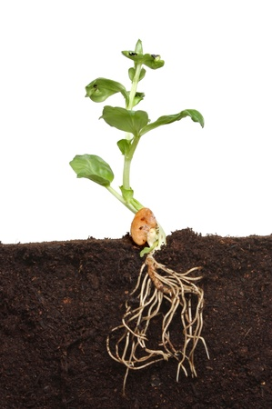 Section through soil showing the newly developed root system and leaves of a seedling plant photo