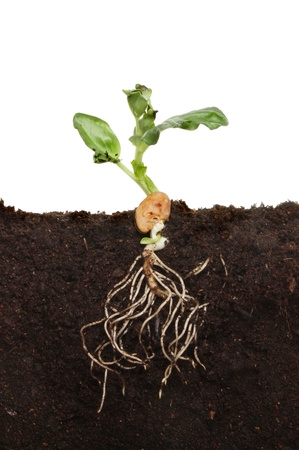 Freshly germinated broad bean seedling in soil showing root structure and new leaves photo