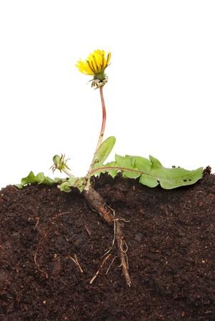 raices de plantas: Diente de le�n, Taraxacum officinale, planta una secci�n que muestra las hojas de ra�z la estructura, las flores y capullos en el suelo sobre un fondo blanco