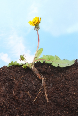 Section through a dandelion ,Taraxacum officinale,  showing root structure leaves,flower and bud in soil against a blue sky Stock Photo