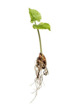 Newly germinated runner bean seedling showing developing root structure and new leaves isolated against white photo