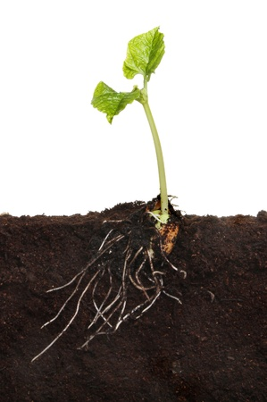 Runner bean vegetable seedling in soil showing a newly developed root system and two new leaves against a white background photo