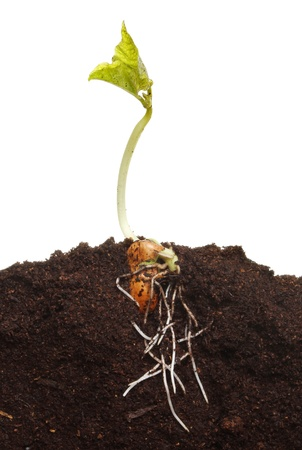 A newly germinated runner bean seedling in soil showuing root structure and fresh leaves photo