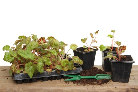 Begonia Summer bedding plants in a tray and pots on a potting bench photo