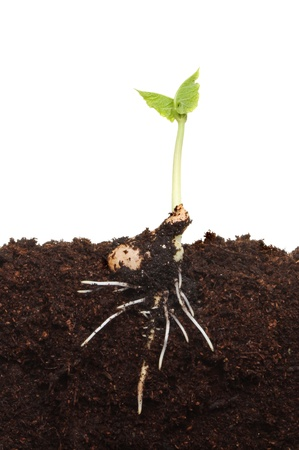 Freshly germinated plant seedling in soil showing the developing root structure and new green foliage Stock Photo - 13965001