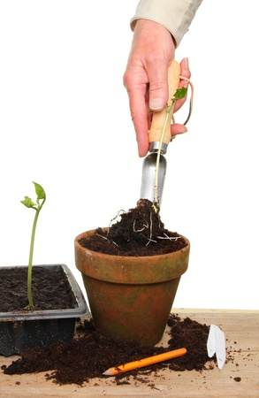 Hand transplanting a seedling using a seedling trowel on a potting bench photo