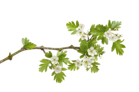 hawthorne: May blossom, Spring  flowers and leaves of a hawthorne tree isolated against white