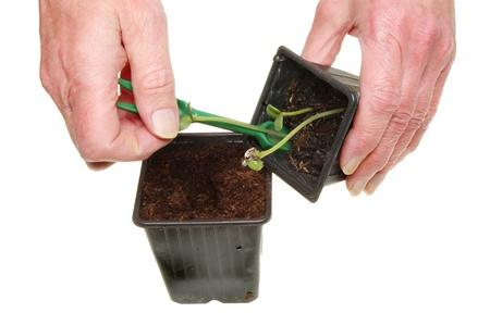 transplanting: Pair of hands transplanting seedlings isolated against white