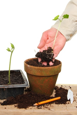 Hand potting on a runner bean seedling into a terracotta pot on a potting bench Stock Photo - 14270382