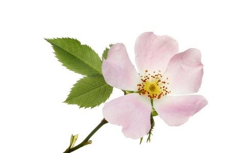Wild or dog rose flower and leaves isolated against white Stock Photo