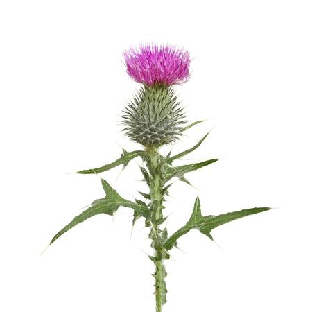 distel: Thistle Blumen und Bl�tter gegen wei�e isoliert Lizenzfreie Bilder