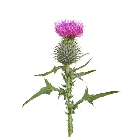 Thistle flower and leaves isolated against white
