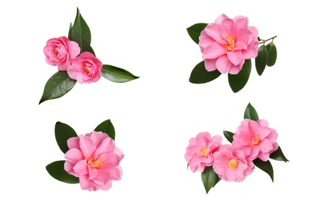 Selection of pink camellia flowers and leaves isoated against white