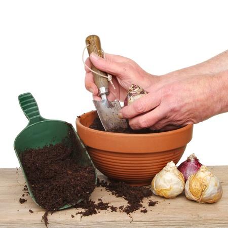 Hands planting hyacinth bulbs into a pot on a potting bench photo