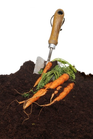 Freshly dug carrots and a trowel in soil against a white background photo