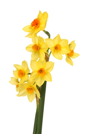 Multi headed daffodil flowers isolated against white