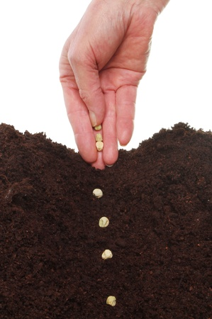 furrow: Closeup of hand planting pea seeds into a furrow in soil
