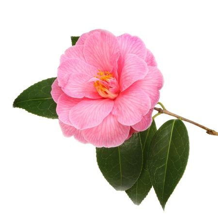 Crimson camellia flower and foliage isolated against white