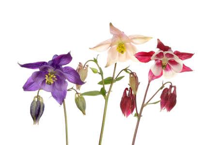 aquilegia: Group of three aquilegia flowers isolated against white