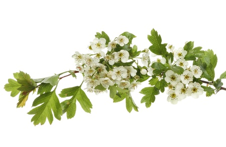 A branch of flowering hawthorn, May blossom, isolated against white Reklamní fotografie