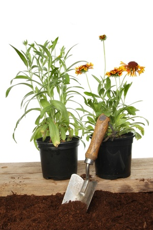 Two gaillardia summer bedding plants with a garden trowel in soil against a white background photo