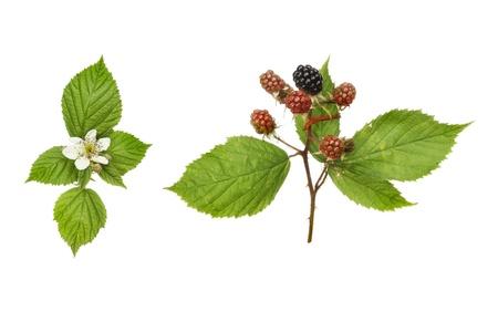Blackberry, Rubus fruticosus, fruit, flower and foliage isolated against white