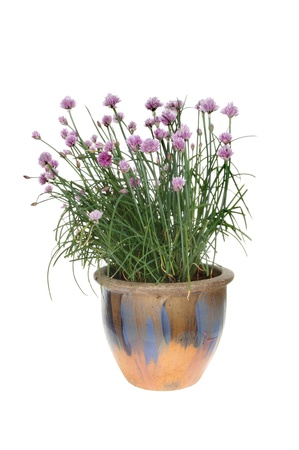 Flowering chive plant in a painted pot isolated against white photo