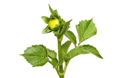 charnu: Dahlia bourgeon de fleur et des feuilles charnues vert isol� sur blanc