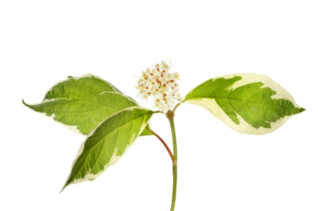 variegated: Dogwood,cornus, flowers and variegated leaves isolated against white