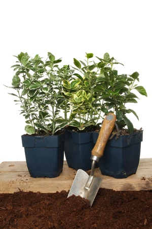 hedging: Group of Euonymus hedging plants with a garden trowel in soil