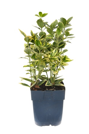 hedging: Euonymus hedging shrub in a pot isolated against white