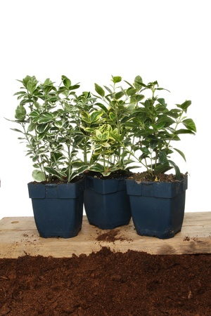 hedging: Group of Euonymus hedging plants on a wooden board on soil