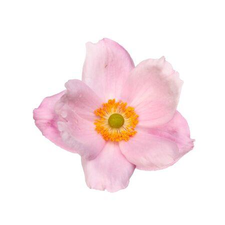 anemone flower: Anemone fiore isolato contro bianco Archivio Fotografico