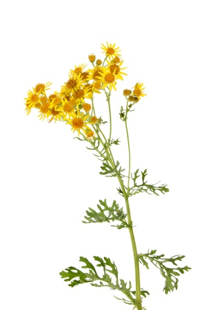 senecio: Ragwort, Senecio jacobaea, flowers and foliage isolated against white Stock Photo